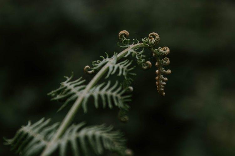 new life, fern opening